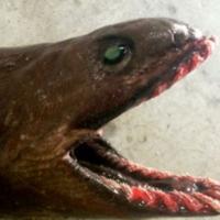 Australia, catturato squalo prestorico: risale a 80 milioni di anni fa