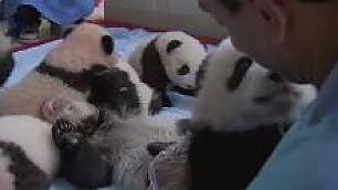 Un concentrato di tenerezza coccole tra 15 cuccioli di panda