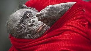 Coccole, dispetti e baci L'espressività delle scimmie
