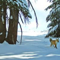 Yosemite Park, volpe rossa ricompare dopo 100 anni
