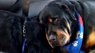 Brutus piange la morte di Hank  Gli inseparabili fratelli rottweiler