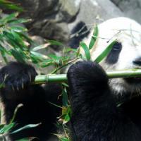 Panda senza pace. Ora è minacciato anche dal clima