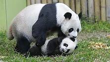 Sos panda: una nuova minaccia viene dal clima