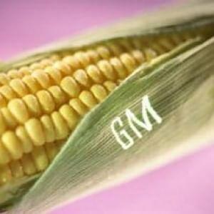 Ogm, il Consiglio di Stato respinge ricorso di agricoltore friulano. Il divieto resta