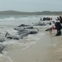 Nuova Zelanda, morte più di cento balene spiaggiate. Altre decine a rischio