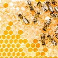 Miele italiano, dimezzata la produzione. Colpa dei furti e dell'insetto killer delle api