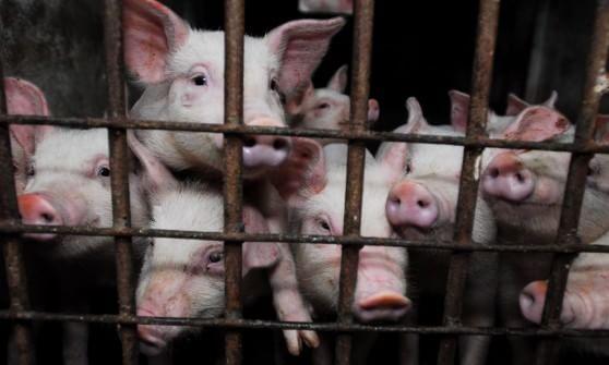 Farmageddon racconta l'orrore degli allevamenti intensivi