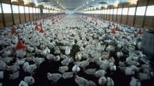 Farmageddon racconta l'orrore degli allevamenti intensivi  di M. D'AMICO
