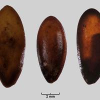 Melone, i primi a coltivarlo in Europa furono i sardi in epoca nuragica