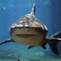 iSharkFin, il software che può salvare gli squali