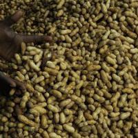 Il segreto contro l'allergia alle arachidi? Mangiarle fin da piccoli