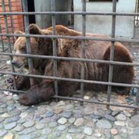 Ciechi, alcolisti e chiusi da 20 anni in una gabbia, ora i due orsi russi saranno curati