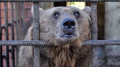 Ciechi, alcolisti e da 20 anni in una gabbia Ora i due orsi russi saranno curati
