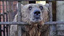 Saranno curati i due orsi russi ciechi, alcolisti e da vent'anni chiusi in gabbia