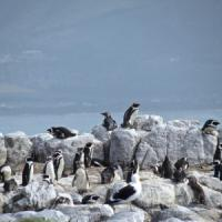 Salviamo il pinguino africano. A Gansbaai il primo centro di recupero