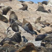 A Gansbaai il primo centro di recupero dei pinguini africani