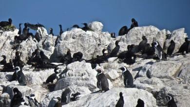 Salviamo il pinguino africano -   Foto   A Gansbaai il primo centro di recupero
