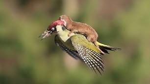 Donnola sul dorso del picchio L'incredibile attacco in volo