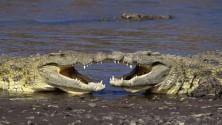 Coccodrilli che giocano a palla e altri animali che si divertono