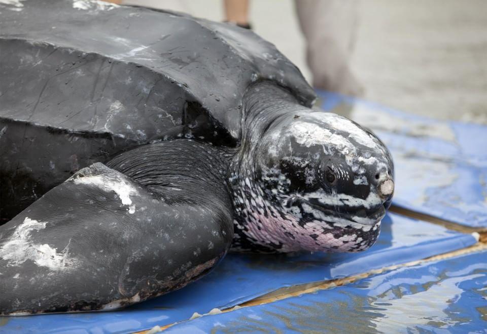 Usa, di nuovo libera la tartaruga gigante: aveva ingoiato una busta di plastica