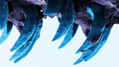 La fibra naturale più resistente? I denti delle cozze patelle -   Foto