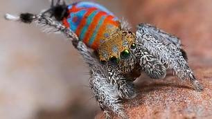 Scoperte in Australia    video    nuove specie di ragno pavone