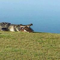 Il pasto dell'alligatore: la tartaruga non ha scampo