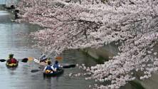 Tokyo, in fiore i sakura la città cambia volto