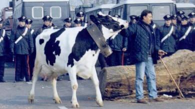 Multe, debiti, polemiche e fallimenti l'amara eredità delle quote latte