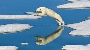 Magnifici, fragili orsi polari