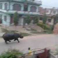 Nepal, rinocerente in fuga semina il panico in città