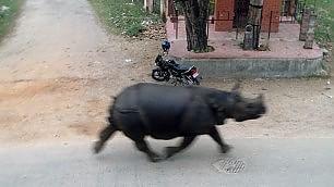 Rinoceronte in fuga semina il panico in città  -   video