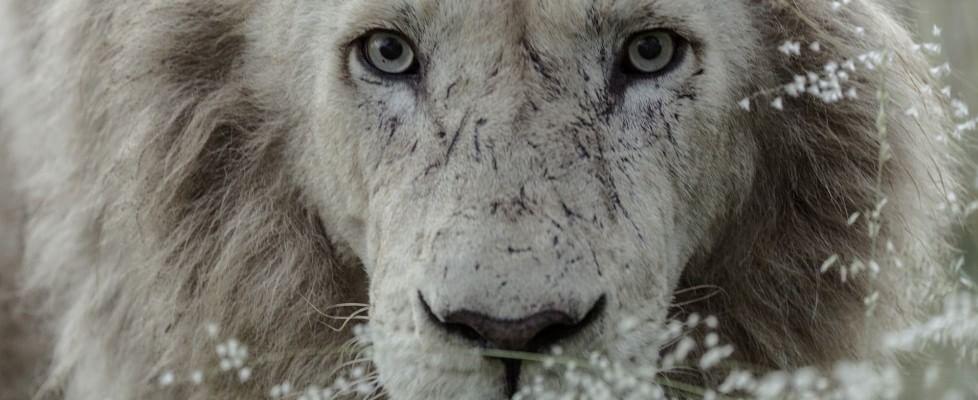 I nuovi denti di Aslan: l'ultima sfida dell'uomo che sussurrava ai leoni