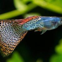 Il corteggiamento dei pesci soppresso dall'acqua inquinata