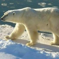 Clima: l'orso bianco cambia dieta, adesso rischia di morire di fame