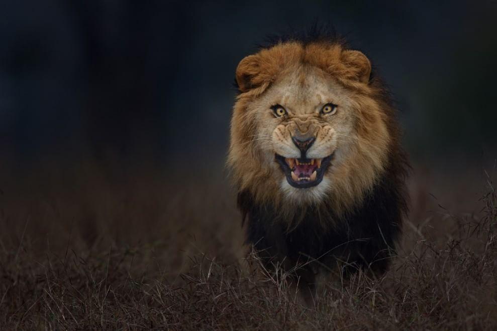 ruggito del leone da