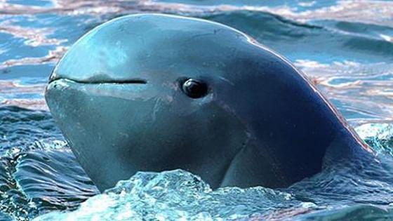 Il delfino incantato che rischia di scomparire