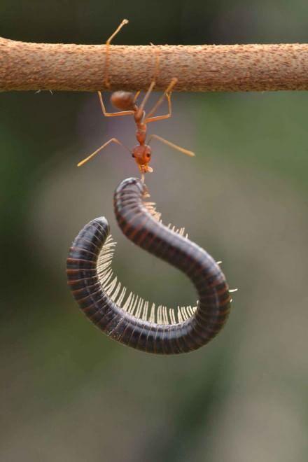 Borneo, l'insetto è un culturista: la formica contro il centipede