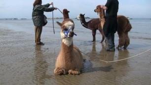 Il pensionato che alleva gli alpaca e li porta a spasso in spiaggia