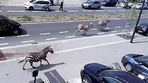 La savana a Bruxelles le zebre al galoppo in città