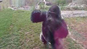 La furia del gorilla: rompe il vetro