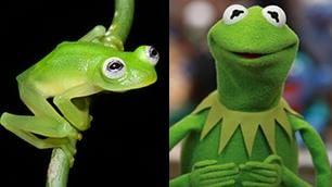 La rana che sembra Kermit la nuova specie 'trasparente'