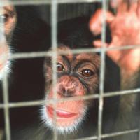 Ora anche gli scimpanzè avranno diritto all'avvocato
