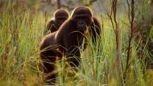 Gorilla e altre specie a rischio nelle grandi foto desktop
