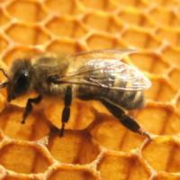 Le api diventano