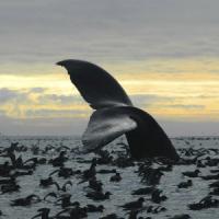 Antartide, registrato un canto di balena sconosciuto
