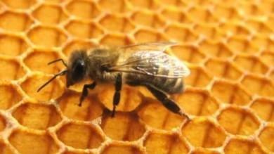 """Le api diventano """"dipendenti"""" dal nettare coi pesticidi"""