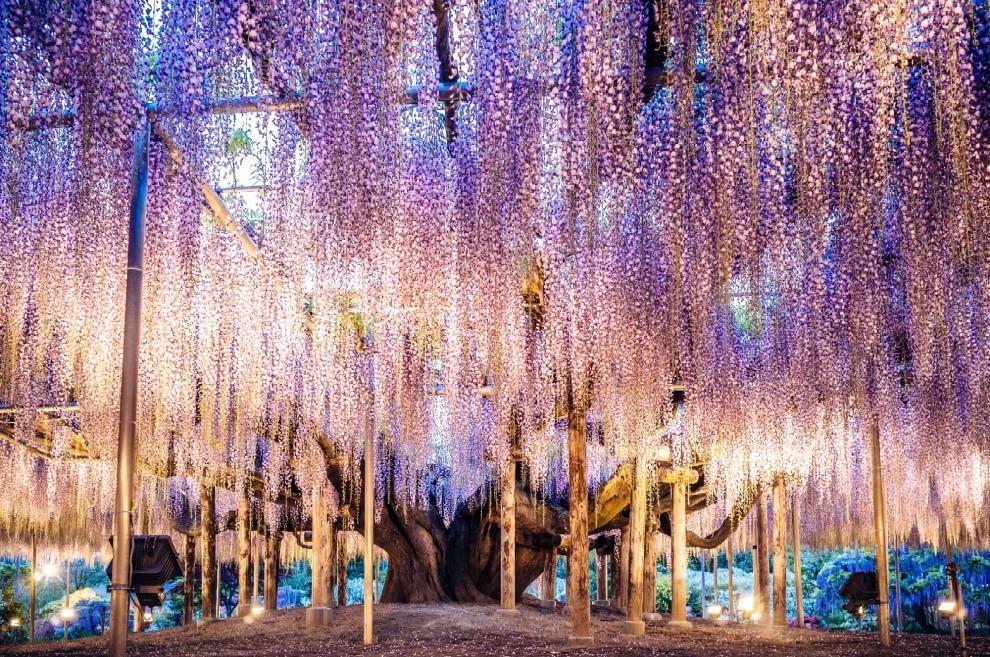 Giappone, l'Albero della Vita che ha ispirato Avatar in piena fioritura