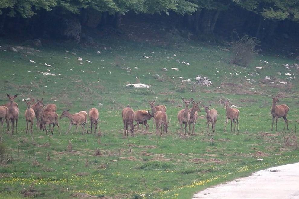 Abruzzo, le cerve e il lupo: vince il coraggio
