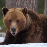 Un'orsa e i suoi due cuccioli trovati morti in Trentino